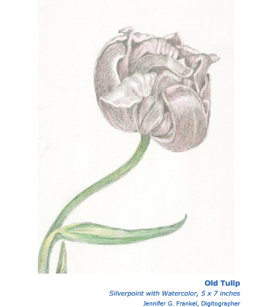 Gugino-Old Tulip Silverpoint with Watercolor